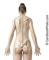 The female skeleton from behind - 3d rendered illustration...