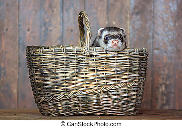 The ferret sitting in a wicker basket.