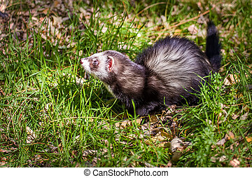 the ferret walks in the park