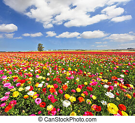 The boundless field, blooming colorful garden buttercups. The magnificent garden buttercups