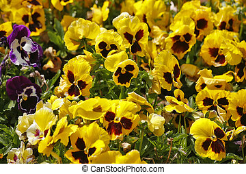 """The field flowers """"pansies"""""""