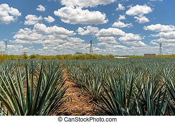 The field of agave planted for the manufacture of tequila. Mexico, Quintano Roo.