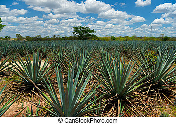 The field of agave planted