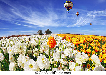 The field of buttercups (Ranunculus asiaticus)