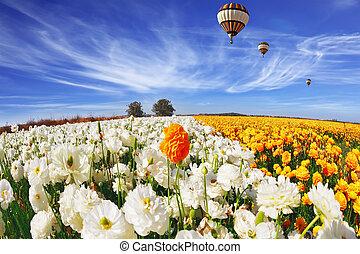 The field of buttercups (Ranunculus asiaticus)