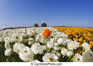 The field of orange and white flowers buttercups