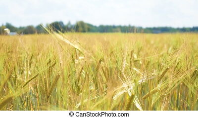 The field of rye growing in a farm field.