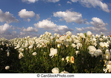 The field of white buttercups