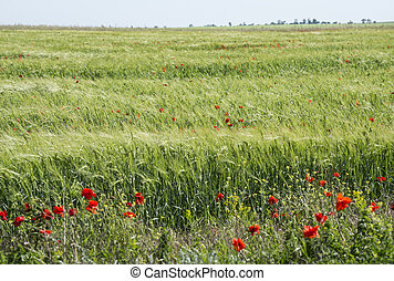 The field of young wheat