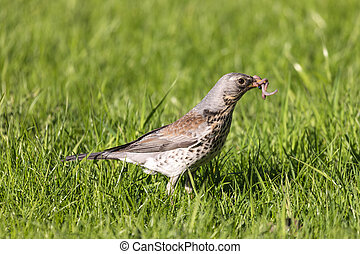 The fieldfare or Turdus pilaris on the grass in a sunny day