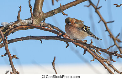 The finch bird sits on a branch.