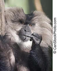 a lion tailed macaque giving the finger