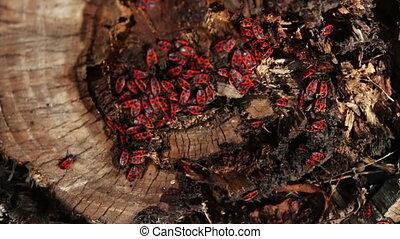 The firebug or Pyrrhocoris apterus - Red beetles on an old...