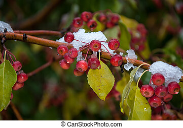 The first abnormal snow and wild apples, city of Orenburg, ...