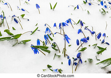 The first flowers in the snow. Stock Photo