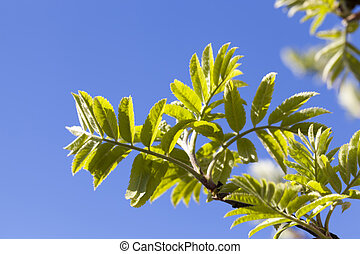 the first green foliage on a real Rowan tree in the spring season, close-up of Rowan trees in the spring in nature