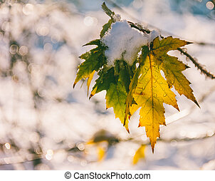 the first snow on the last maple leaves in the autumn morning, shallow depth of field