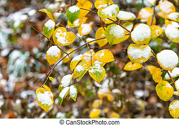 the first snow on yellow and green leaves
