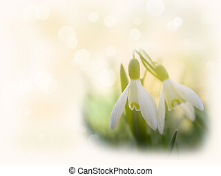 The first snowdrops appeared from under the snow