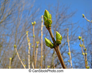The first spring buds on a branch - The first spring buds on...