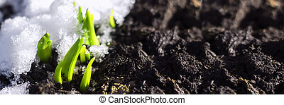 The first spring flower plant sprouts from the earth and ...