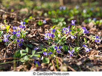 The first spring flowers in the forest