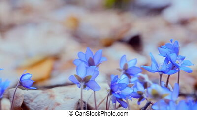 The first spring flowers in the wild forest. dolly shot