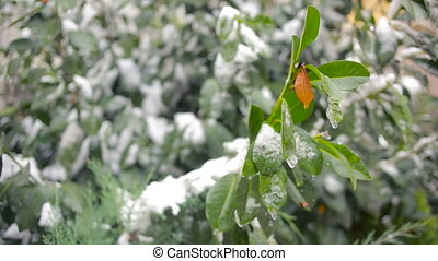 The first sudden early snow on green leaves