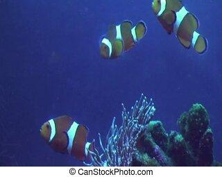 The fish-clown