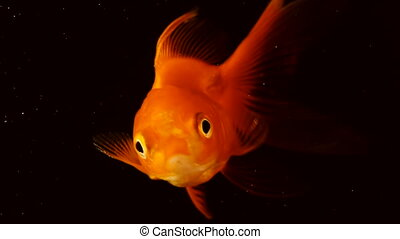 The fish float in the water column. Single adult goldfish...