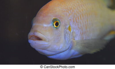 Portrait of an African aquarium fish of the cichlid family...