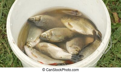 The fisherman takes fish out of the bucket for cleaning. Small size, preparation for a delicious dish