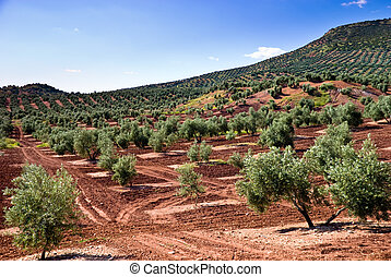 The flank of a olive tree hill in Andalusia, Spain