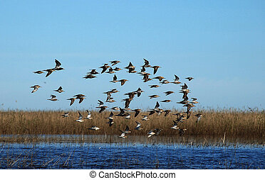The flight, flying over lake, sandpipers.