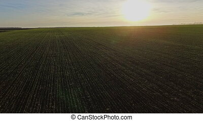 The flight over a field of pshenytseyu.Osin. Sunset