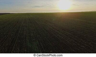 The flight over a field of pshenytseyu.Osin. Sunset