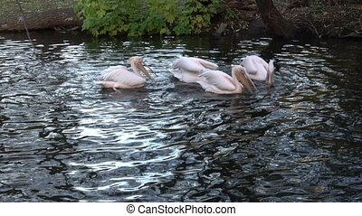 The flock great white pelicans (Pelecanus onocrotalus), also...