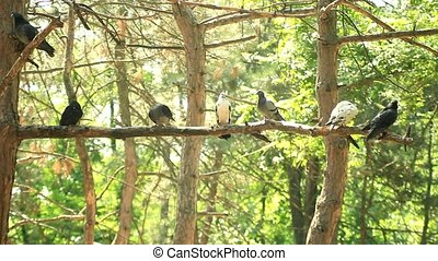The flock of pigeons sitting on a branch