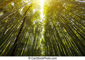 The flourish bamboo forest with glorious morning sunshine
