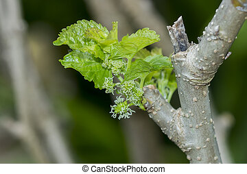 The flower of mulberry on tree.