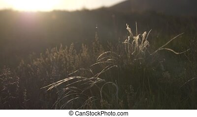 The flower of the steppe feather grass in the wind in the...