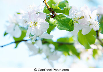 the flowers of an Apple tree