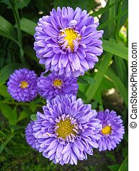 The flowers of blue beautiful aster