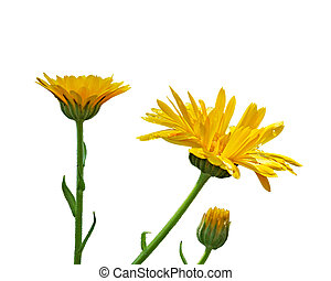 The flowers of calendula isolated on a white background