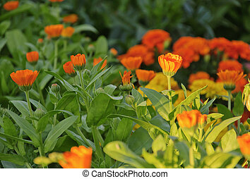 the flowers of calendula
