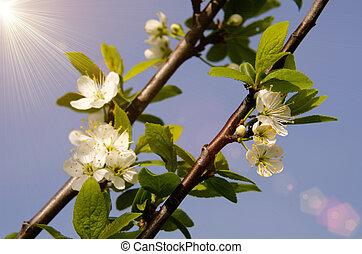the flowers of mirabelle plum tree