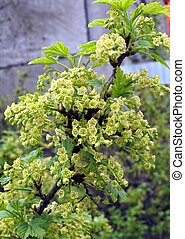 the flowers of red currant
