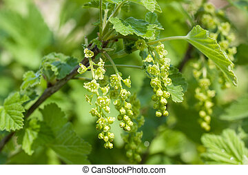 The flowers of the red currants