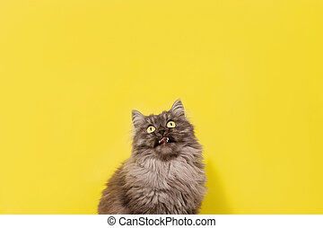 fluffy gray cat on a yellow background