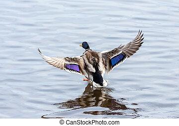 The flying mallard in the sky, male duck